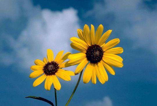 800px-Sunflower_flower_against_blue_sky_background