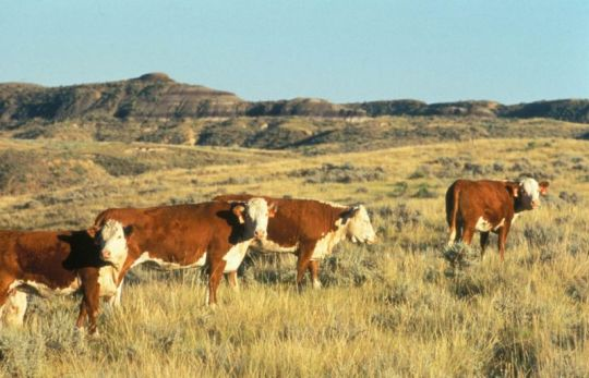 800px-Hereford_cattle