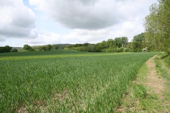 Wheat_and_Barley_Field_-_geograph.org.uk_-_427204