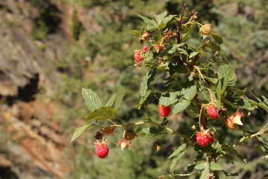 I ate some of these wild raspberries - they were delicious and, thankfully, not poisonous.