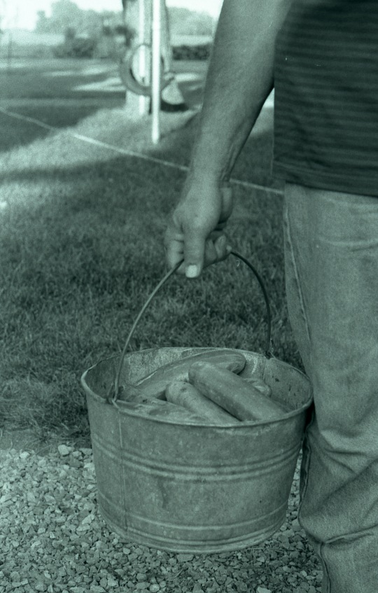 Dad gathering his summer cucumbers in and old galvanized bucket